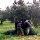 Greek Olive Picking -for Oils