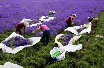 Lavender Essential oils from France Provence